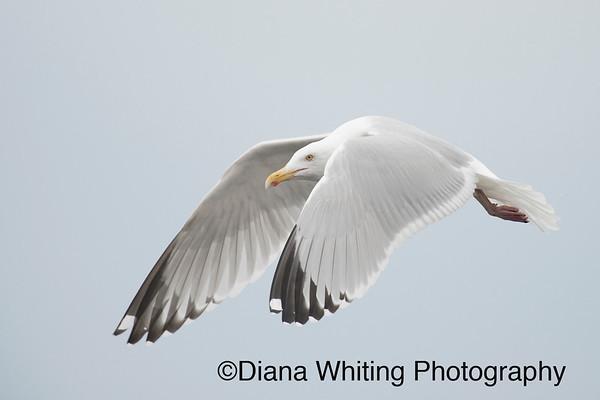Herring Gull Adult Plumage_DSC4947