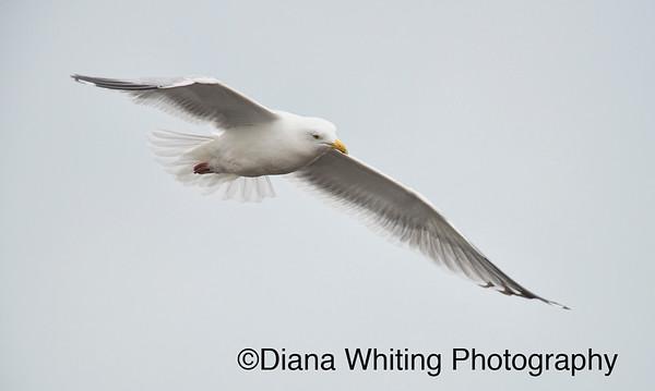 Herring Gull_DSC5054 copy