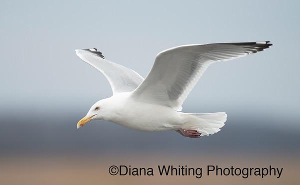 Herring Gull_DSC4978 copy