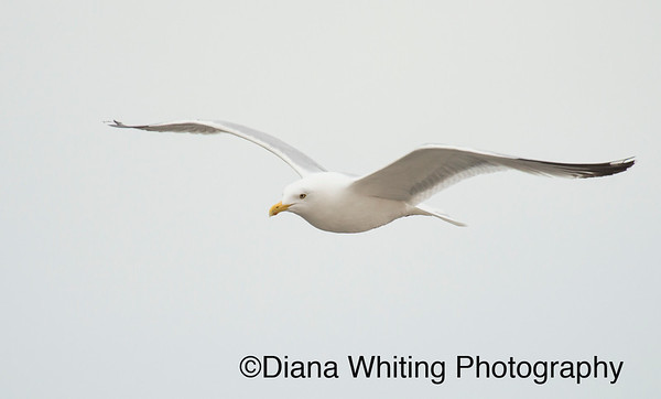 Herring Gull_DSC4926 copy