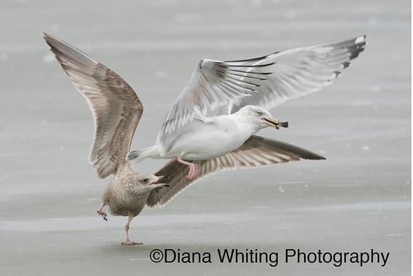 Gull Scuffle copy