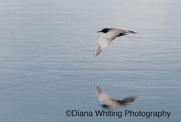 black tern_DEW7789 copy