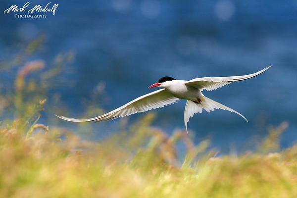 Summer Tern