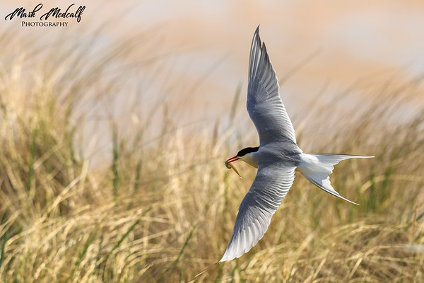 Arctic Tern over the Dunes