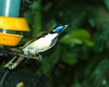 Blue-face Honeyeater