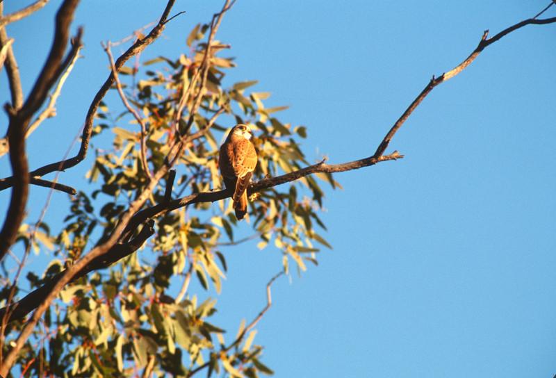 Australian Kestrel