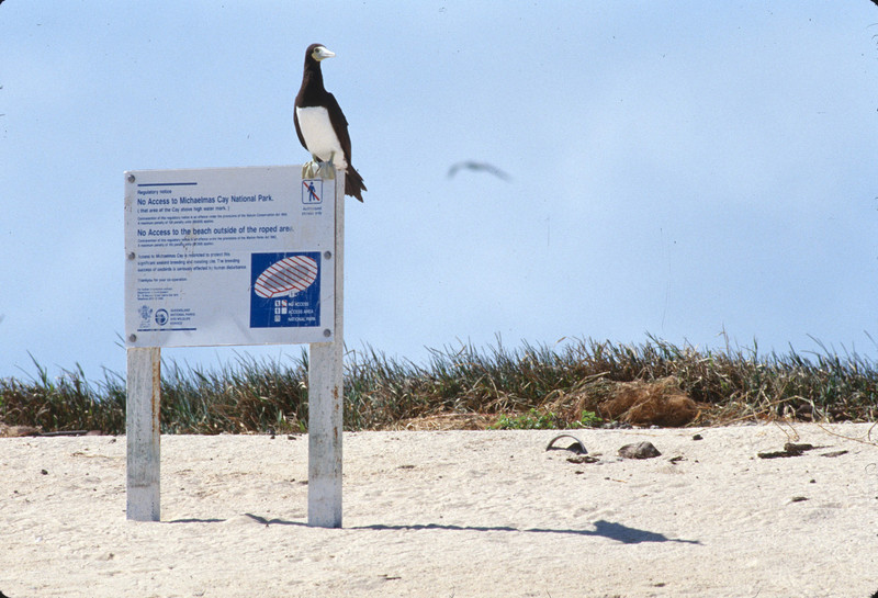 Brown Booby on the Michelmas Cay sign