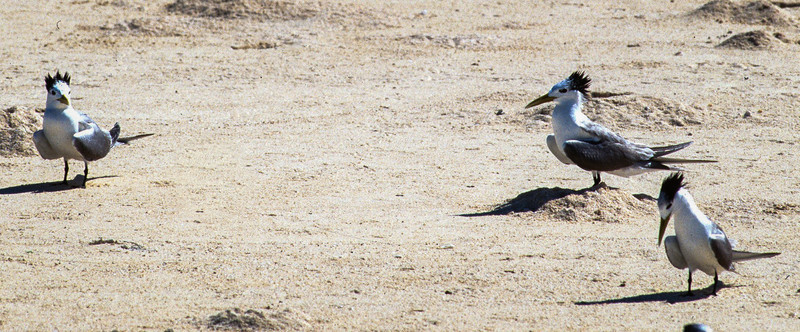Great Crested Terns -- courtship