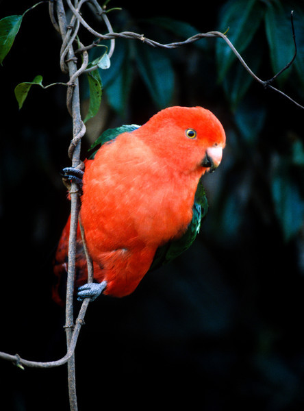 King Parrot (m), New South Wales, Australia