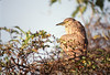 Rufous or Nankeen Night-heron