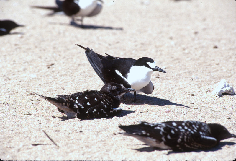Sooty Tern and young