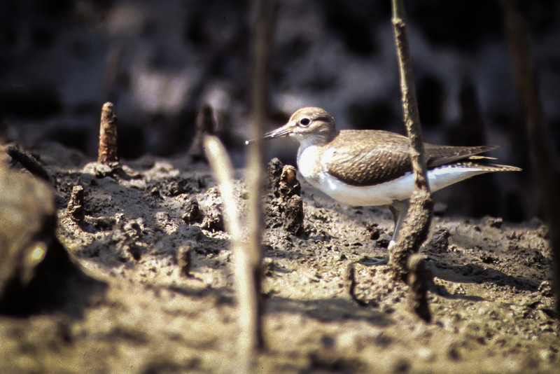 Common Sandpiper among mangrove roots