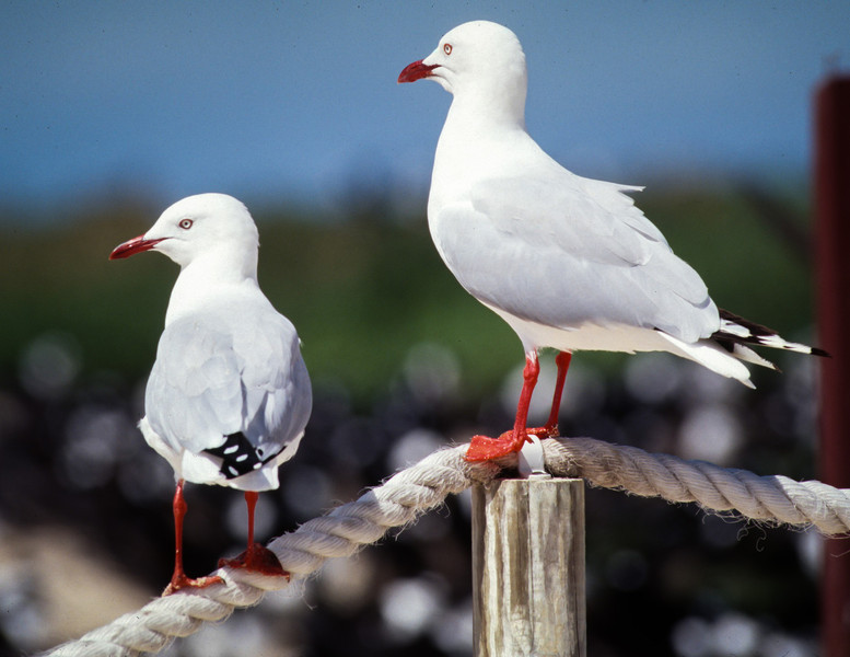 Silver Gull, Michelmas Key, Queensland, Australia