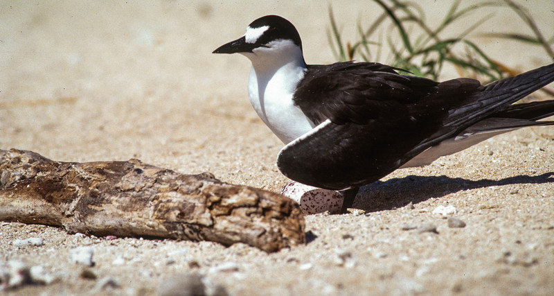 Sooty Tern on her egg, Michelmas Cay, Australia