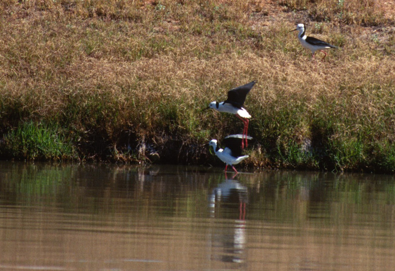 Pied (or Black-winged) Stilts mating