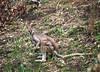 Nail-tailed Wallaby