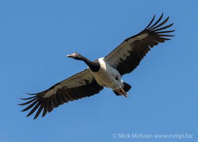MMPI_20201004_MMPI0064_0008 - Magpie Goose (Anseranas semipalmata) in flight.
