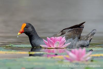 MMPI_20201115_MMPI0064_0032 - Dusky Moorhen (Gallinula tenebrosa) swimming on a lake alongside a flowering waterlily.