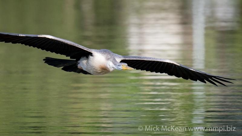 _7R45628 - Australasian Darter (Anhinga novaehollandiae) flying low above a lake.