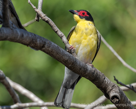 MMPI_20190830_MMPI0059_0046 - Australasian Figbird (Sphecotheres vieilloti) .