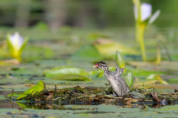 MMPI_20211017_MMPI0076_0001 - Australasian Grebe (Tachybaptus novaehollandiae) nestling stretching its tiny undeveloped wings on its nest on the lake.