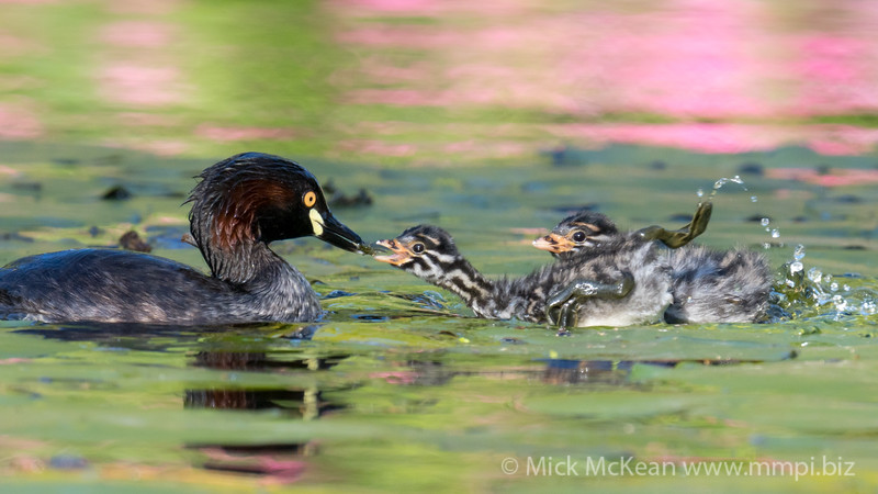 MMPI_20211017_MMPI0076_0007 - Australasian Grebe (Tachybaptus novaehollandiae) chick racing its sibling to collect water weed from its parent.