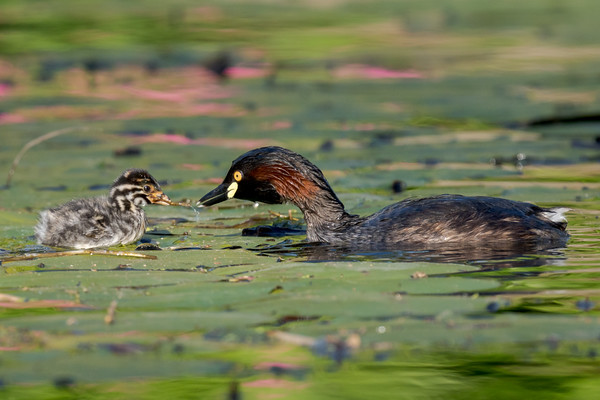 MMPI_20211017_MMPI0076_0006 - Australasian Grebe (Tachybaptus novaehollandiae) chick being fed water weed by its parent.