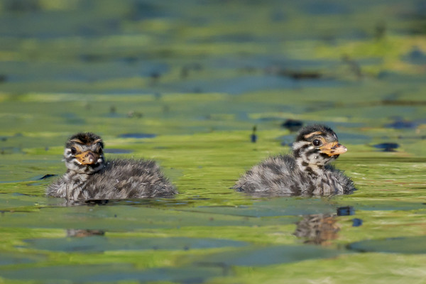 MMPI_20211017_MMPI0076_0012 - Australasian Grebe (Tachybaptus novaehollandiae) pair of siblings floating on the lake.