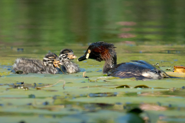 MMPI_20211017_MMPI0076_0013 - Australasian Grebe (Tachybaptus novaehollandiae) chick being fed water weed by its parent while a sibling watches on.