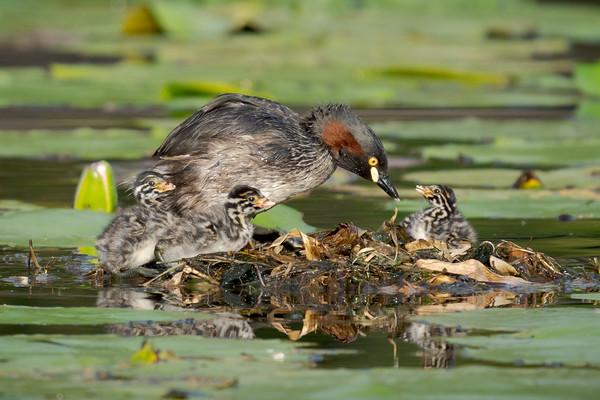 MMPI_20211014_MMPI0076_0001 - Australasian Grebe (Tachybaptus novaehollandiae) adult with three nestlings on their small nest on a lake.
