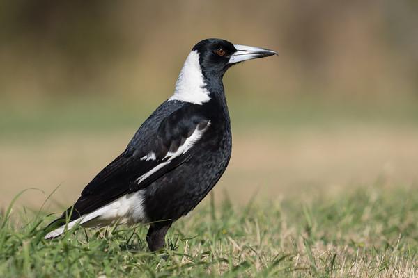 MMPI_20210821_MMPI0076_0027 - Australian Magpie (Gymnorhina tibicen) (male) standing on a lawn.