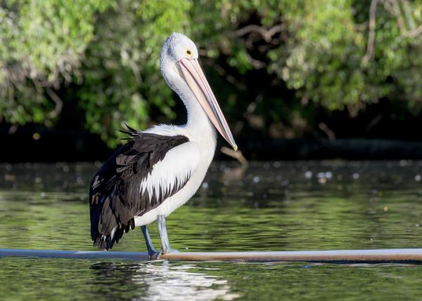MMPI_20200602_MMPI0064_0009 - Australian Pelican (Pelecanus conspicillatus) standing on a pipe on a lake.