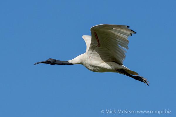 MMPI_20210130_MMPI0076_0005 - Australian White Ibis (Threskiornis moluccus) in flight.