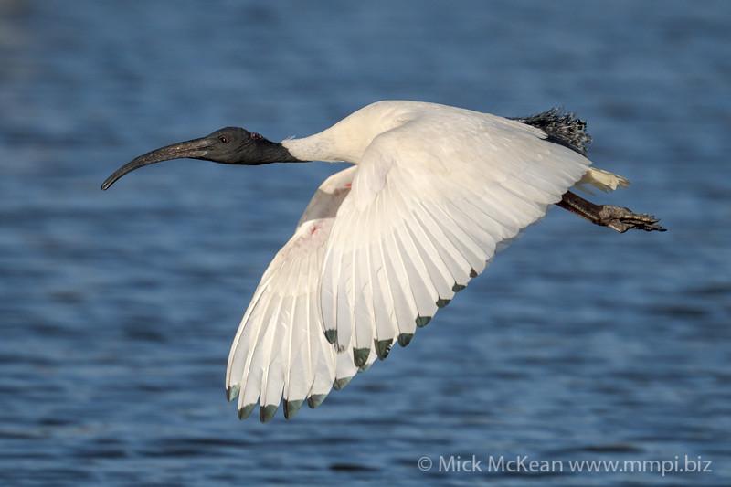 MMPI_20210823_MMPI0076_0005 - Australian White Ibis (Threskiornis moluccus) in flight.