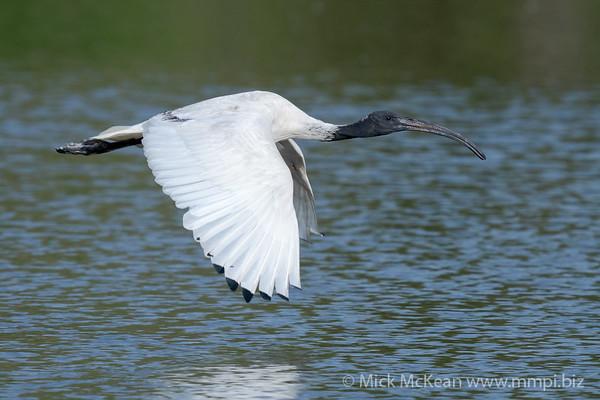 _7R45675 - Australian White Ibis (Threskiornis moluccus) flying low above a lake.