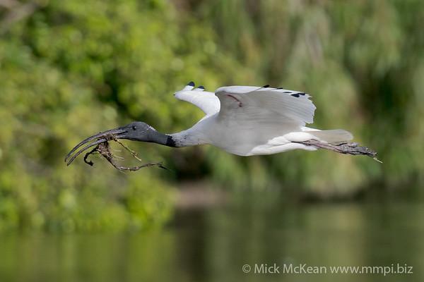 _7R45698 - Australian White Ibis (Threskiornis moluccus) returning to the nest with nesting material.