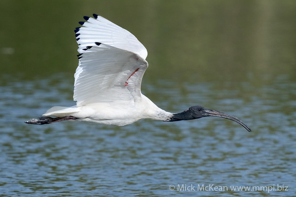 _7R45676 - Australian White Ibis (Threskiornis moluccus) flying low above a lake.