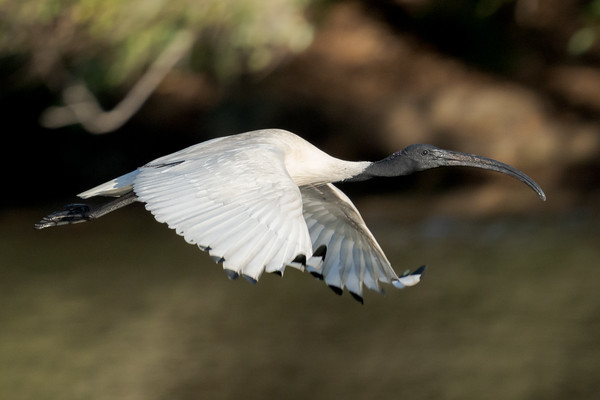 MMPI_20210823_MMPI0076_0002 - Australian White Ibis (Threskiornis moluccus) in flight.