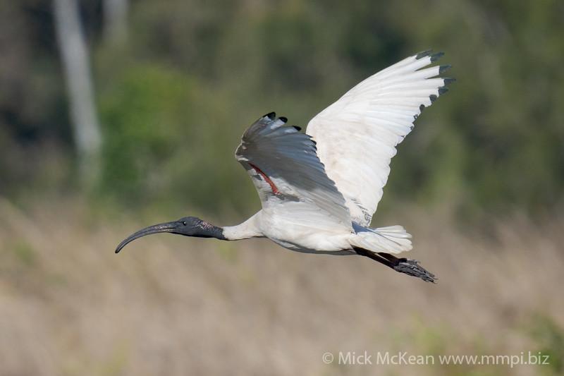 MMPI_20200819_MMPI0064_0015 - Australian White Ibis (Threskiornis moluccus) in flight.