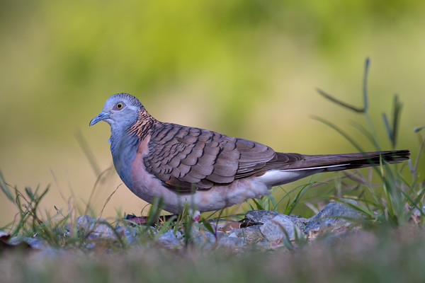 MMPI_20190829_MMPI0059_0027 - Bar-shouldered Dove (Geopelia humeralis) .