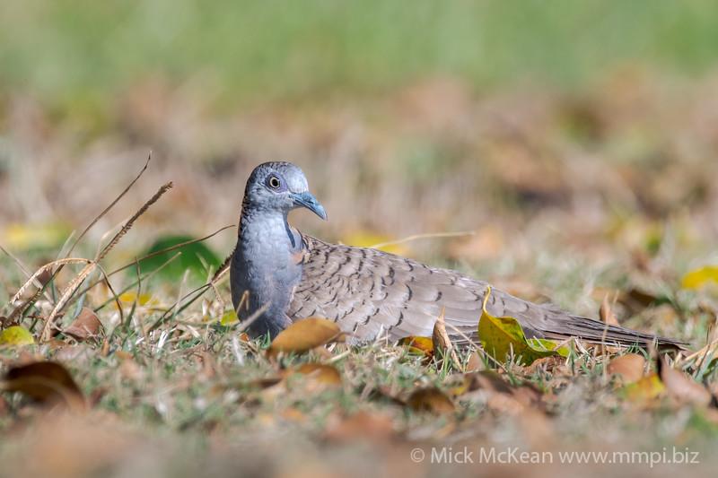MMPI_20190830_MMPI0059_0031 - Peaceful Dove (Geopelia placida) resting on the ground.