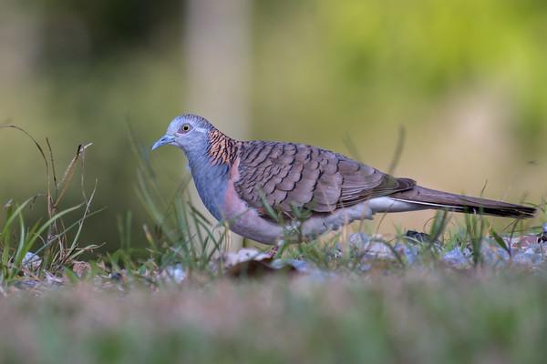 MMPI_20190829_MMPI0059_0028 - Bar-shouldered Dove (Geopelia humeralis) .