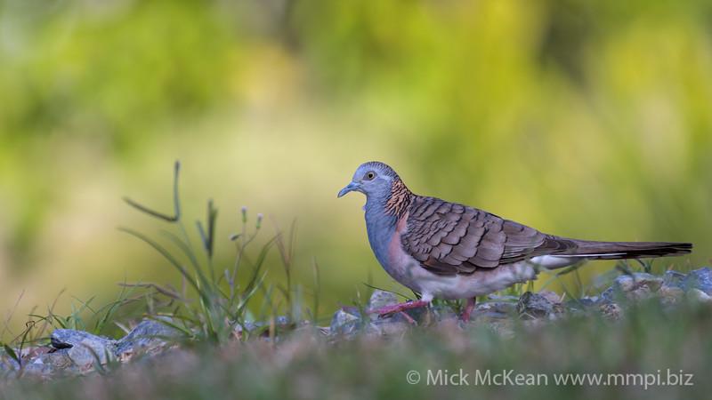 MMPI_20190829_MMPI0059_0026 - Bar-shouldered Dove (Geopelia humeralis) .