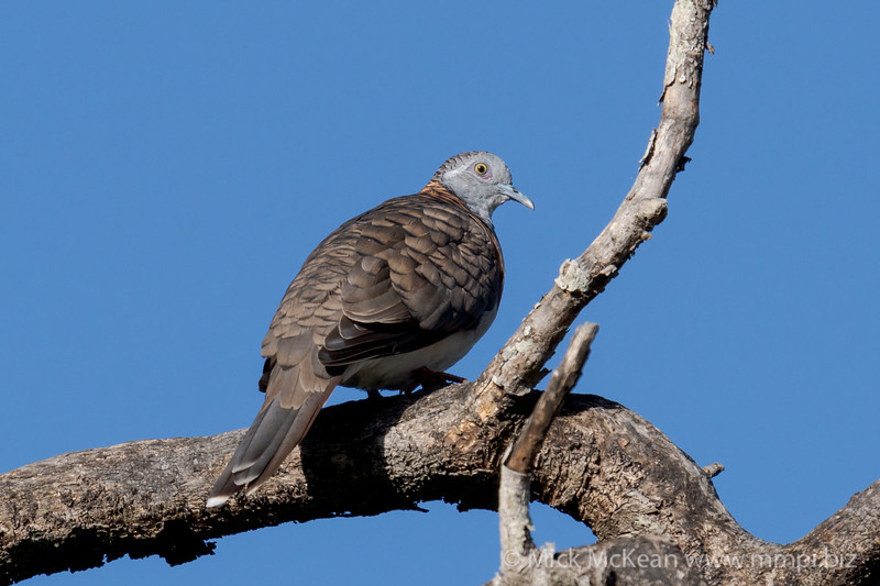 MMPI_20201121_MMPI0064_0001 - Bar-shouldered Dove (Geopelia humeralis) perching in a tree.