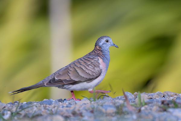 MMPI_20190829_MMPI0059_0029 - Bar-shouldered Dove (Geopelia humeralis) .