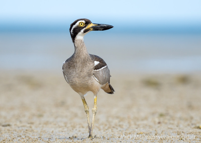 MMPI_20200909_MMPI0067_0042 - Beach Stone-curlew (Esacus magnirostris) standing on the sandflats.