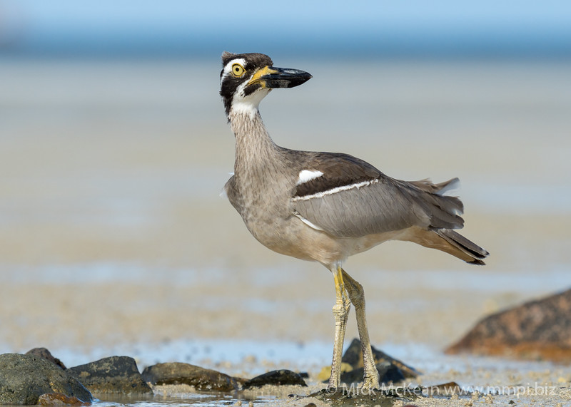 MMPI_20200909_MMPI0067_0044 - Beach Stone-curlew (Esacus magnirostris) standing amongst rocks on the sandflats.