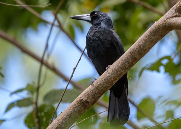 MMPI_20190829_MMPI0059_0001 - Black Butcherbird (Cracticus quoyi) .