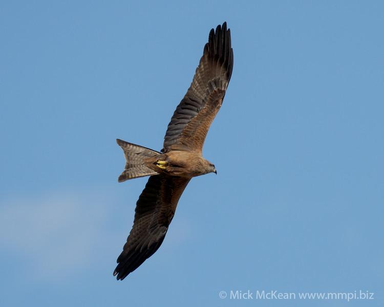 MMPI_20200819_MMPI0064_0020 - Black Kite (Milvus migrans) in flight.