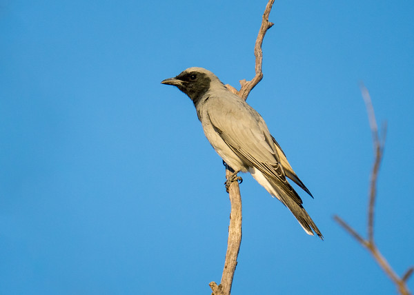 MMPI_20210410_MMPI0076_0001 - Black-faced Cuckooshrike (Coracina novaehollandiae) perching on a tree branch.
